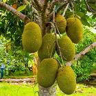 jackfruit-growing