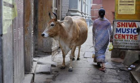 cow--strolling in Uttar Predesh