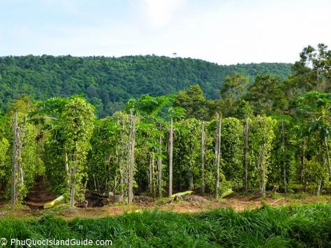 Hot News: Vietnam Pepper Farmers Suffer Hard Times