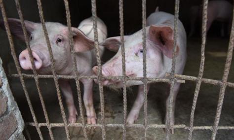 China-Pigs-Virus-900x540
